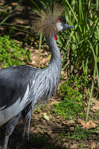 African Crowned Crane--9