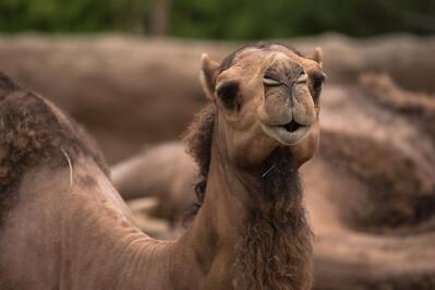 Camel-5977