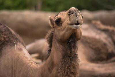 Camel-5978