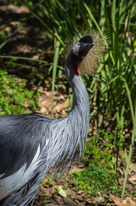 African Crowned Crane--4