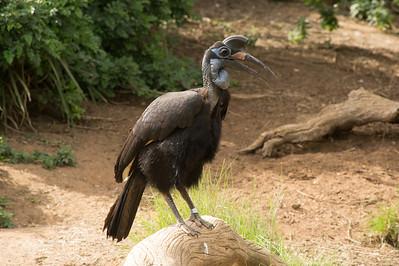 Abyssinian Ground Hornbill-6512